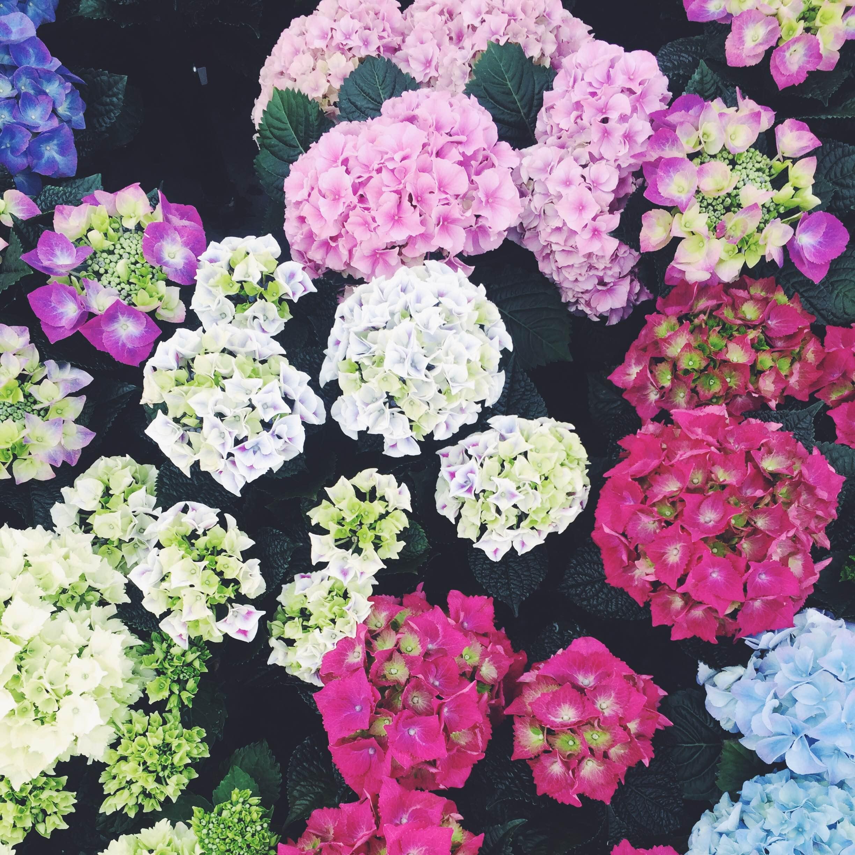 Blomster i alle mulige farver fra Humlebæk Plantecenter