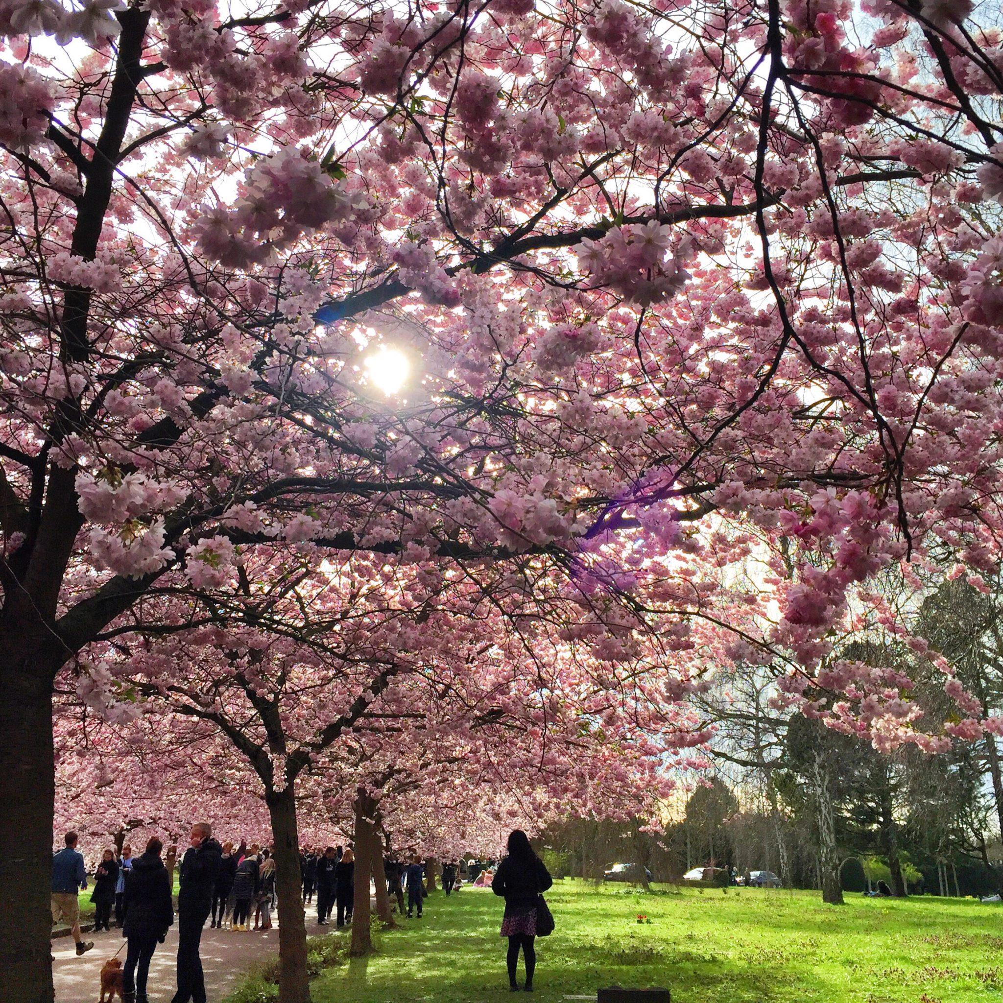 Kirsebærtræ / sakura på Bispebjerg Kirkegård i Nordvest København
