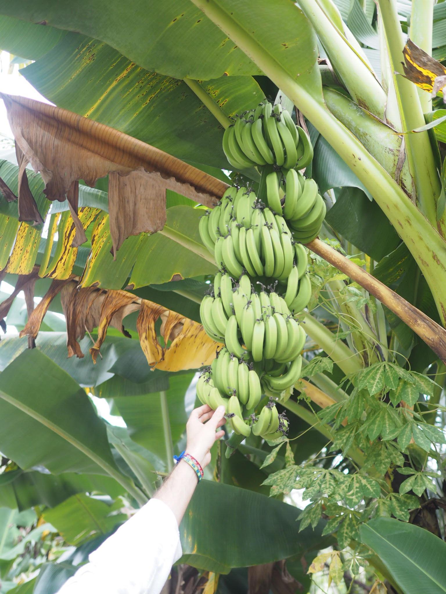 bananplantage-vietnam