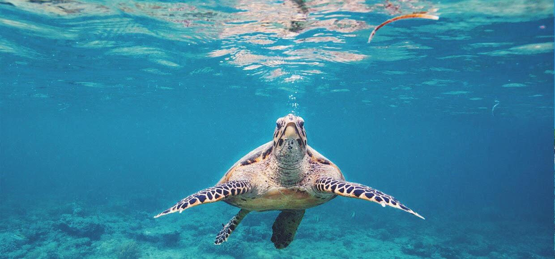 snorkle dykke havskildpadder på Bali